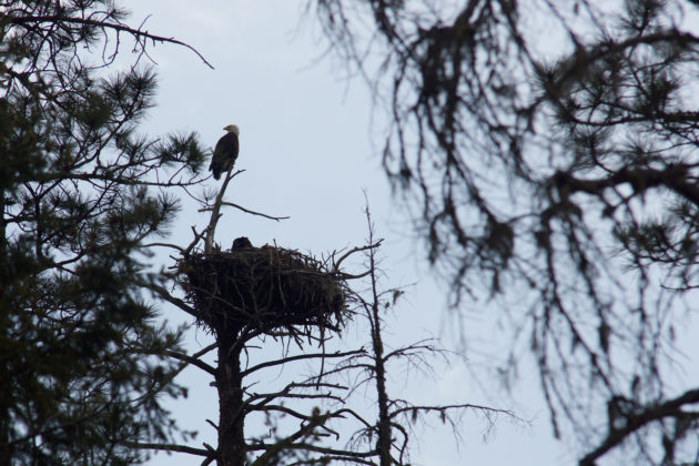 Bald Eagles nesting near Rocky Point day use area