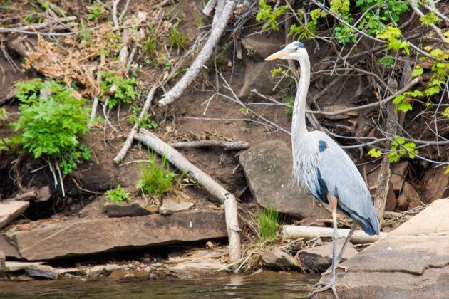 Blue Heron stalking fish