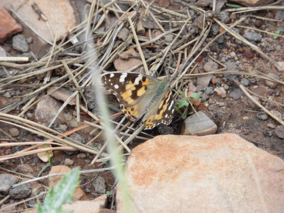 Butterfly at Mogollon Campground